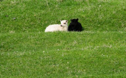Små nyfødte lam